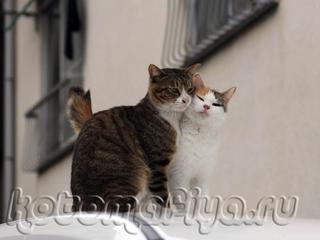 Любовь про кошек