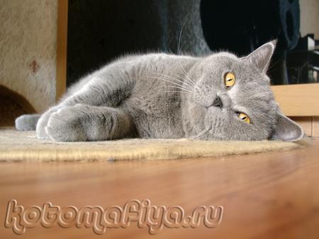 Альбион- голубой британский кот. И этим все сказано!))