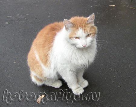 Рыжий - красивый кот, но бездомный...