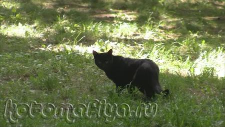 Черный, черный кот