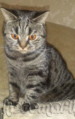Шотландская кошка. Мила