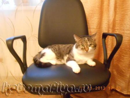 Барсик на компьютерном кресле